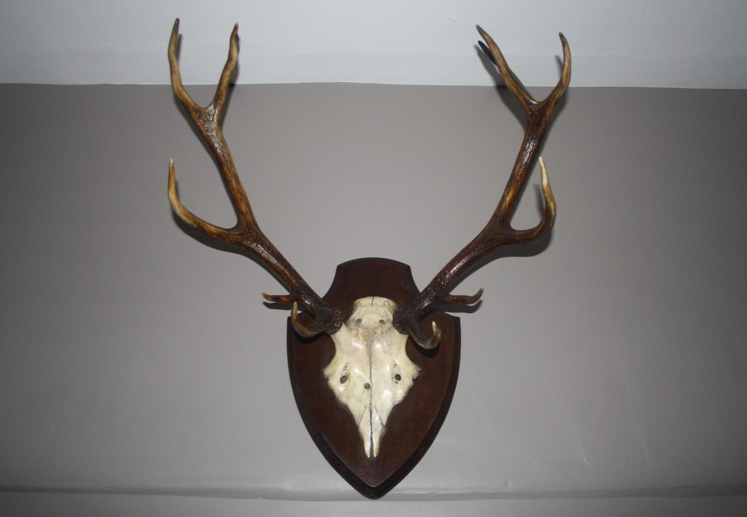 Antlers mounted on wooden shield