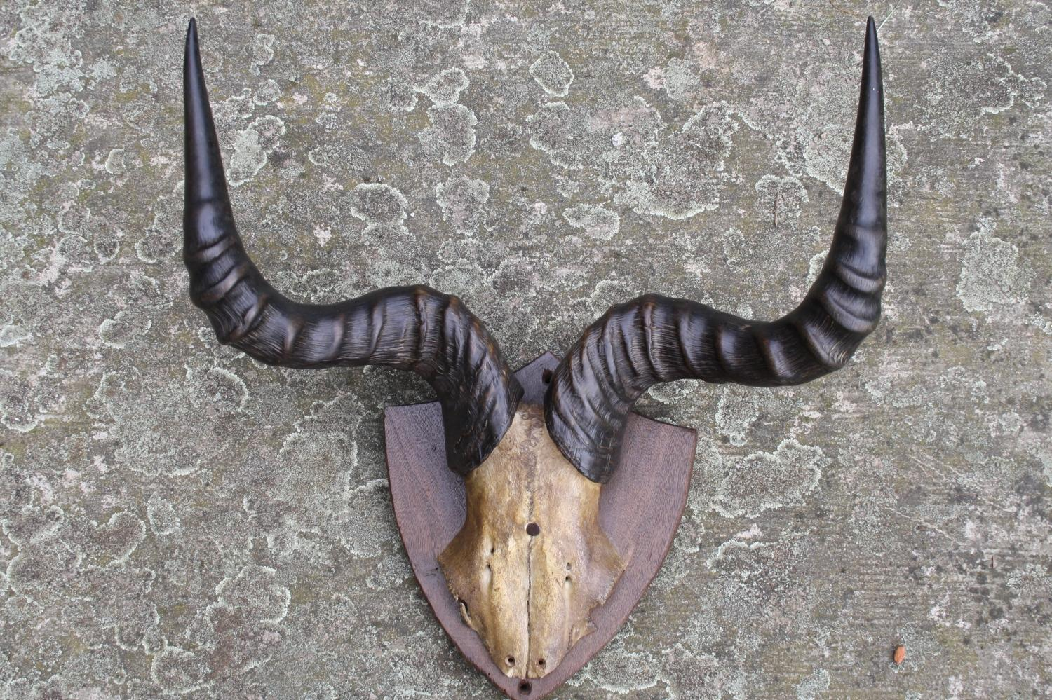 Antique horns and skull mounted on shield