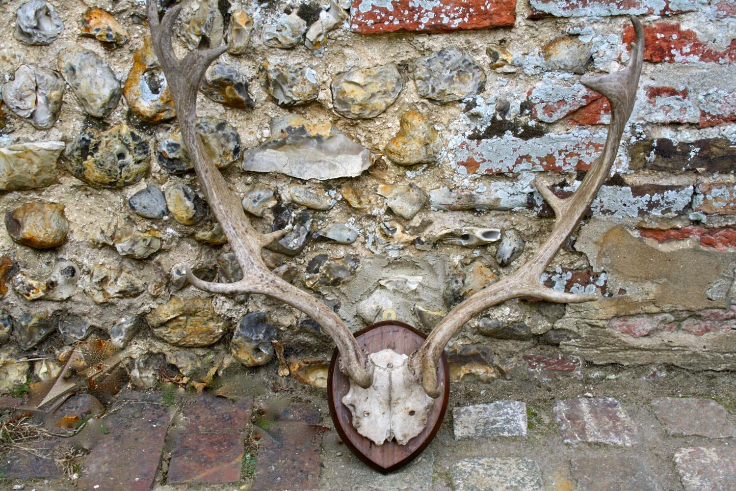 Pair of Antlers mounted onto a shield
