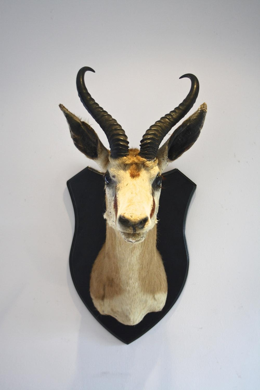 Taxidermy impala head on wooden shield