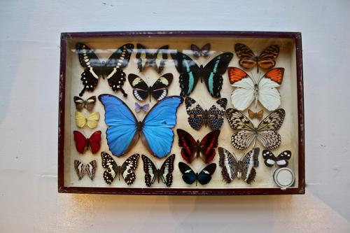 Cased butterflies