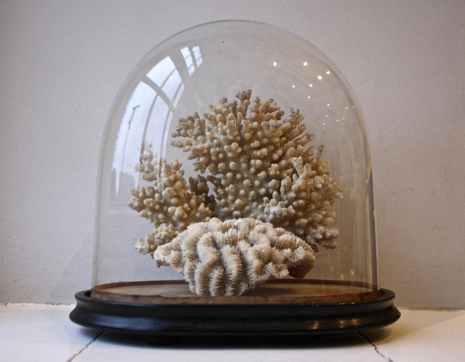 Victorian glass dome with mounted coral