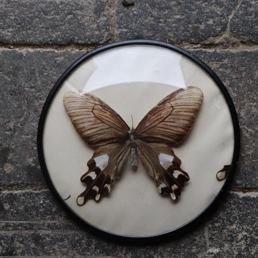 Vintage butterfly in convex frame
