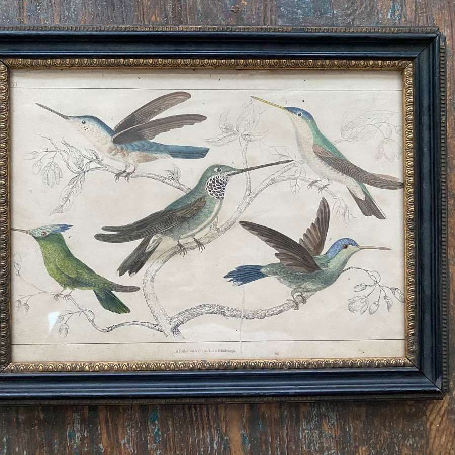 Pretty handcoloured print of humming birds