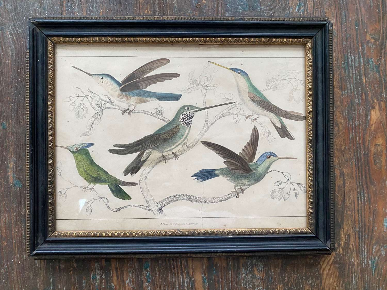 Pretty handcoloured print of humming birds
