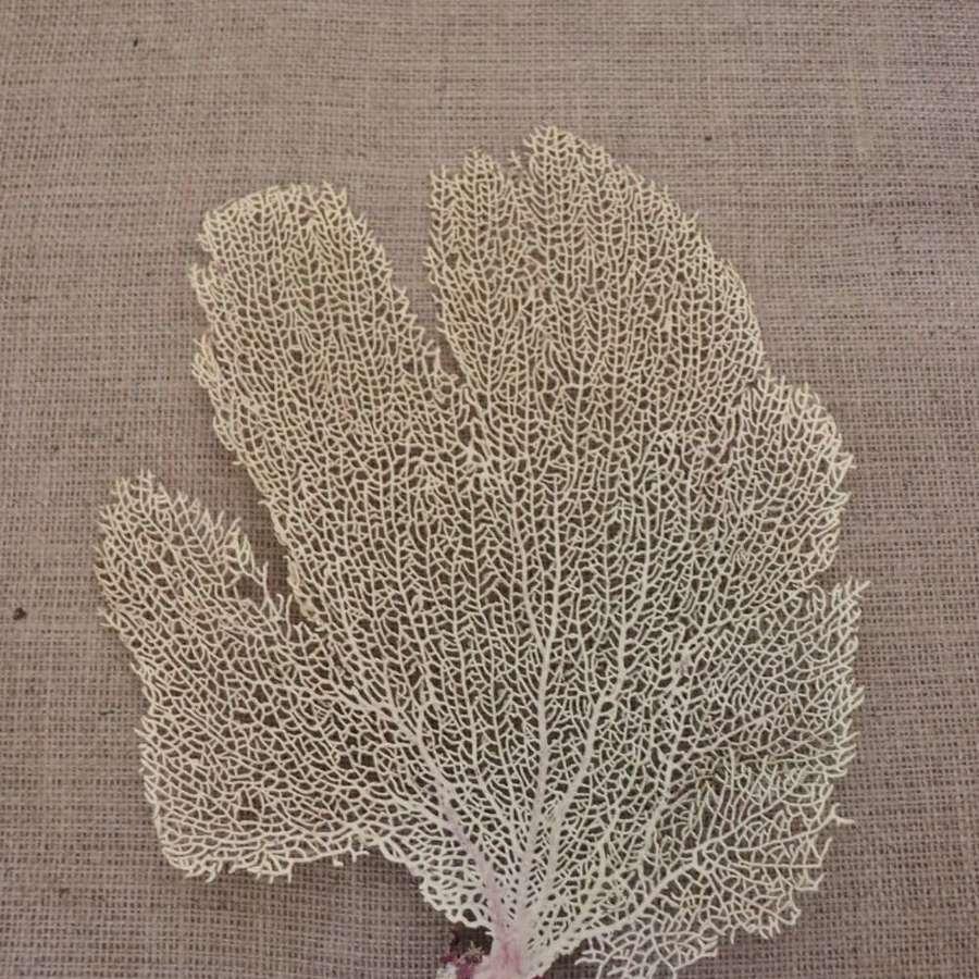 Decorative coral fan