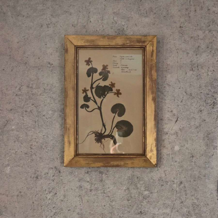 Pair of early 20th century Swedish herbarium pictures
