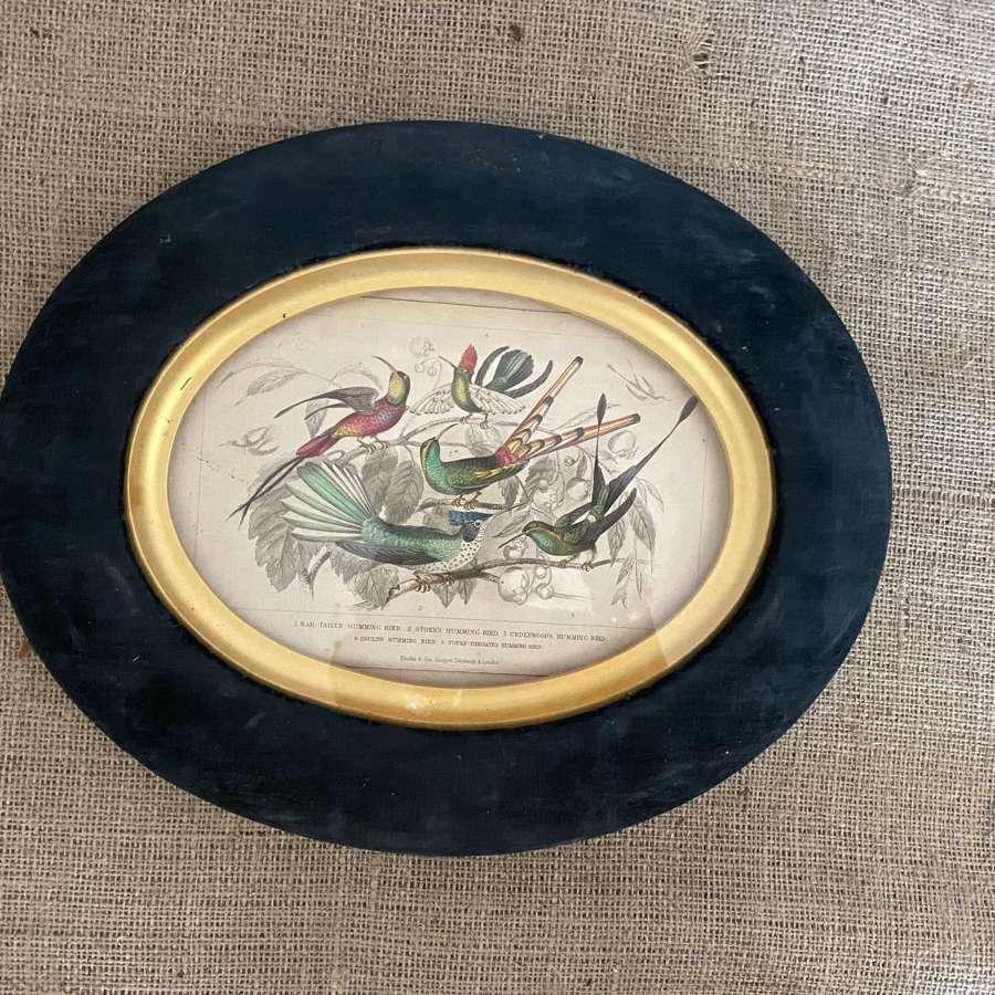 Handcoloured print of humming birds in velvet frame
